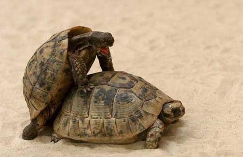 А вот кое-что из жизни черепах... Вообще-то черепаха-самка существо неромантичное и холодное. Но. Когда дама чем-то лакомится, она становится столь же доступной, как женщина легкого поведения... Так что умные самцы приходят в гости с кусочком яблочка, например...